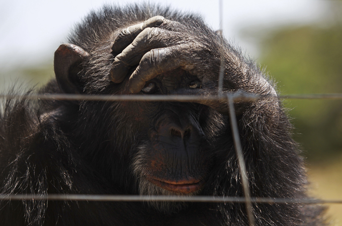 Chimpazees rescued from illegal traffickers  within Africa hosted in Kenya